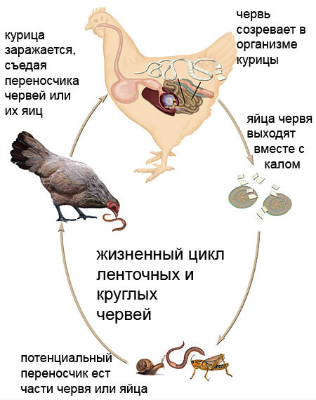 Глисты у кур