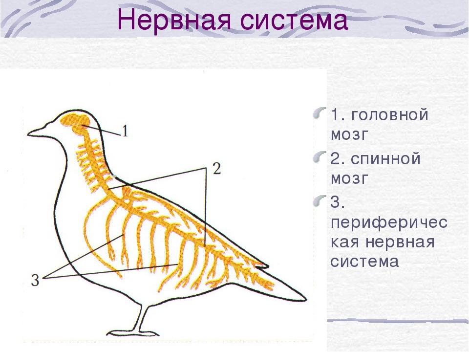 Нервная система курицы
