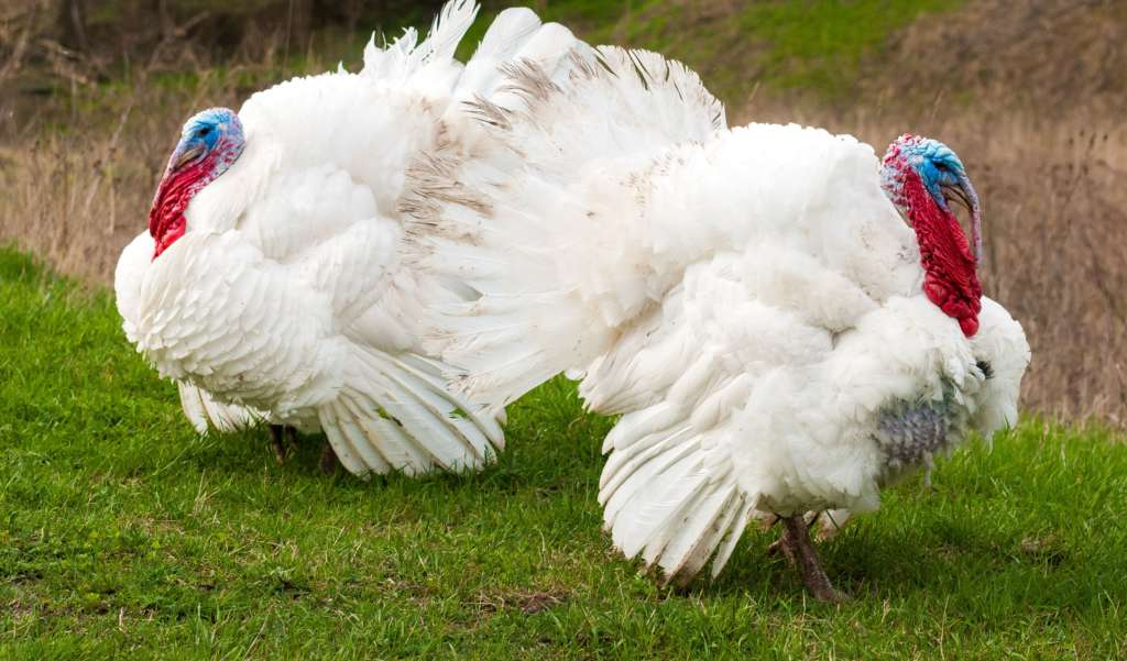 Белые Широкогрудые индейки