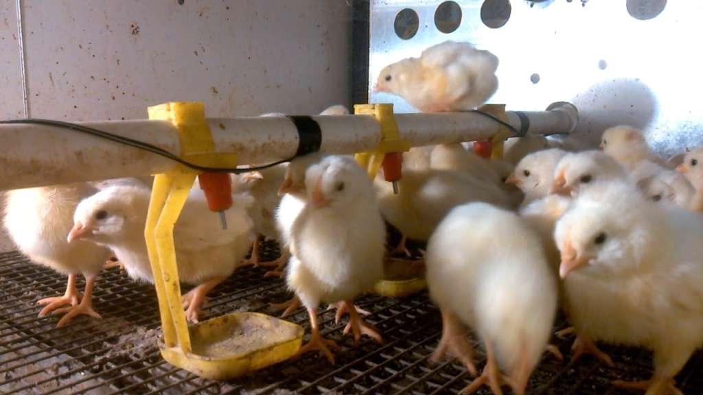 Кормление цыплят декалб уайт