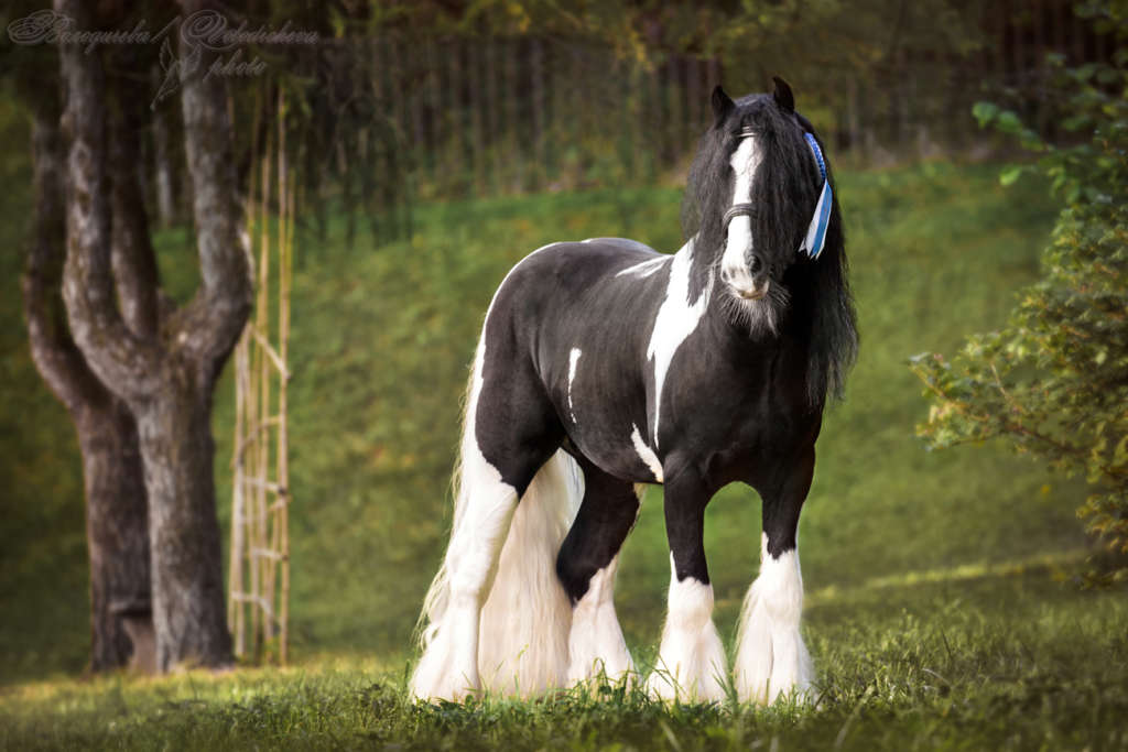 Тинкер лошадь