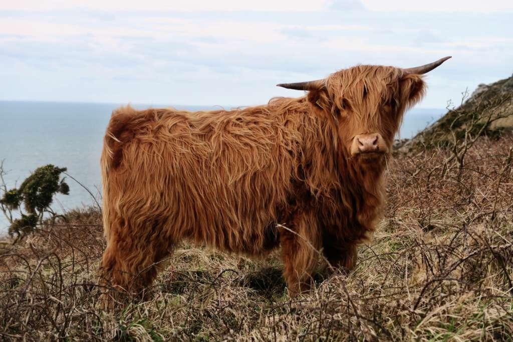 Шотландская корова хайленд