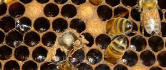Расплод пчел