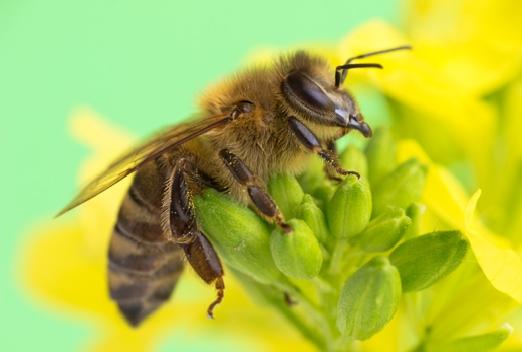 Среднерусская порода пчелы