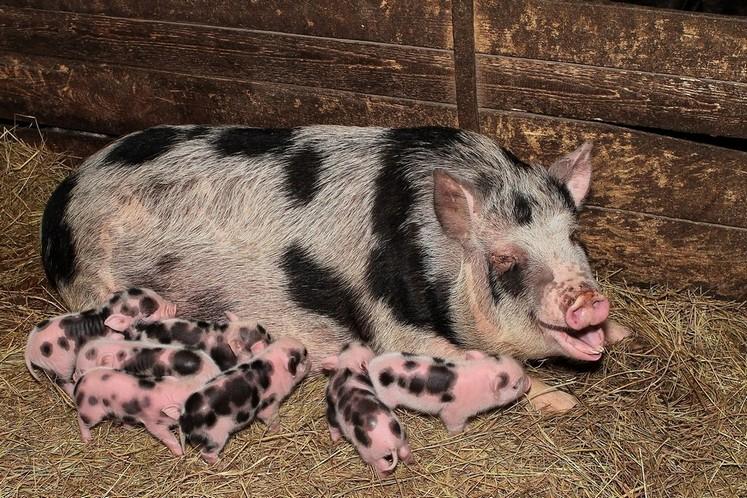Миргородская свинья с поросятами