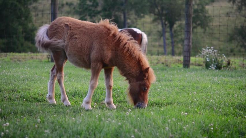 Фалабелла ест траву