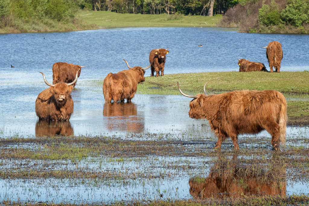 Хайленд коровы