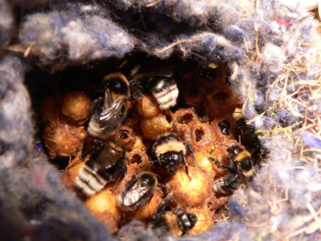 Мед земляных пчел
