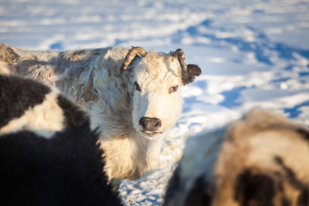Шотландская порода коровы