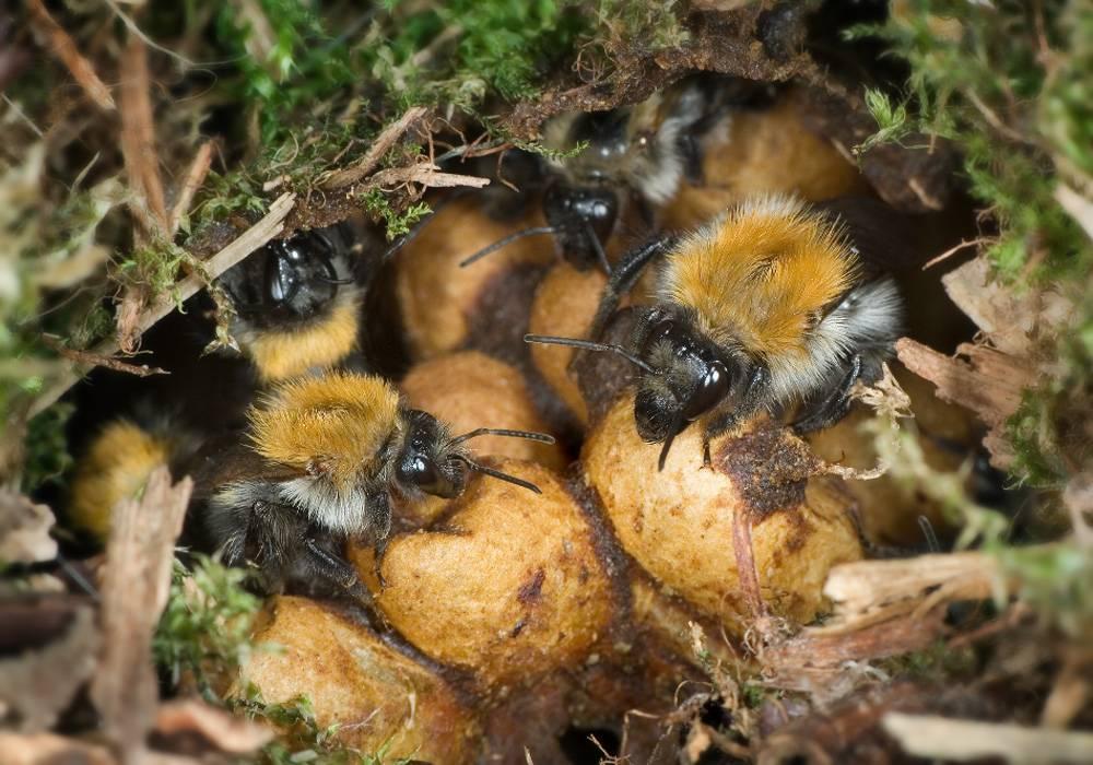 Земляные пчелы