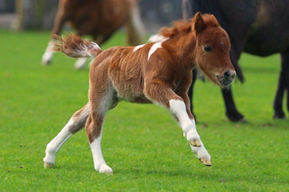 Порода лошади фалабелла