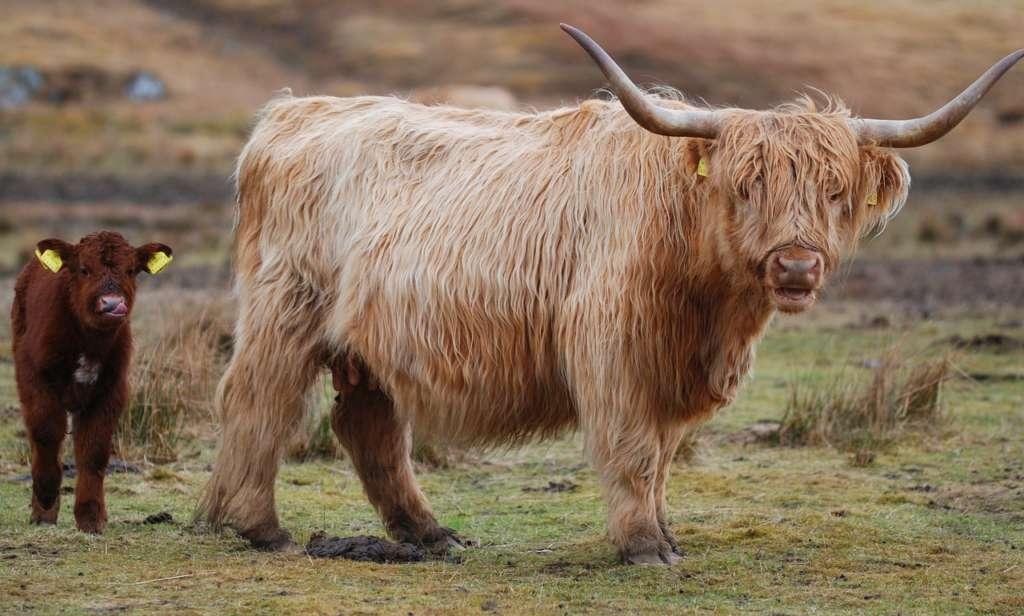 Шотландская корова и теленок