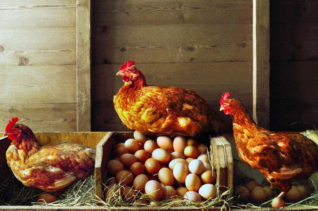 Курицы и яица