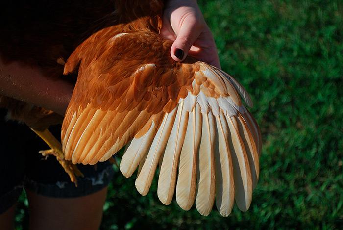Куриные живые крылья