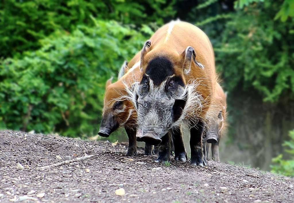 Кистеухая речная свинья