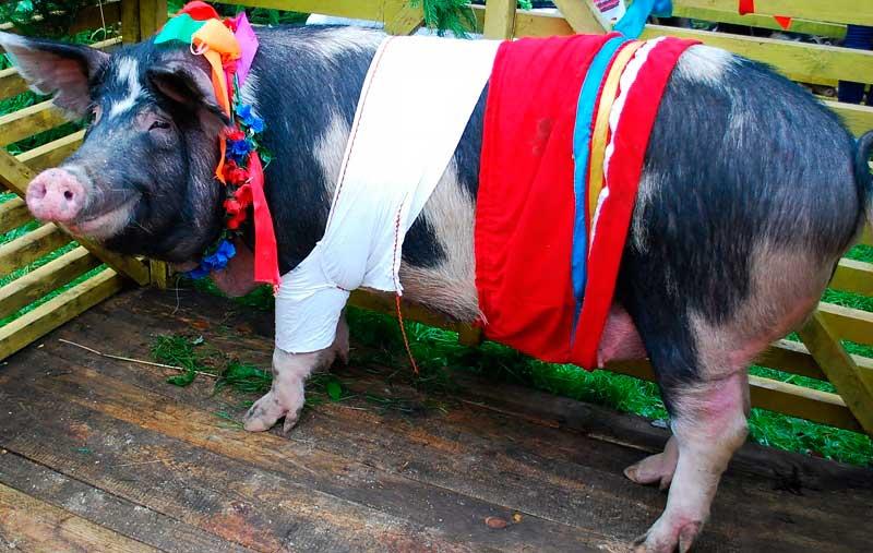 Миргородская порода свиньи