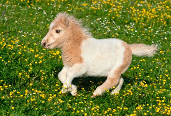 Маленькая лошадь фалабелла