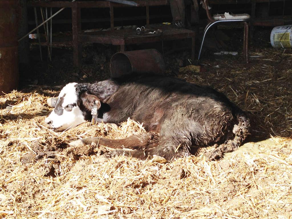 Корова зараженная глистами
