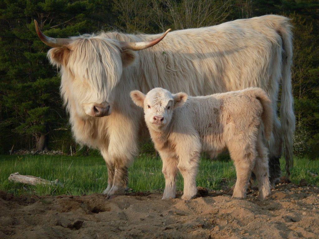 Хайленд корова и теленок