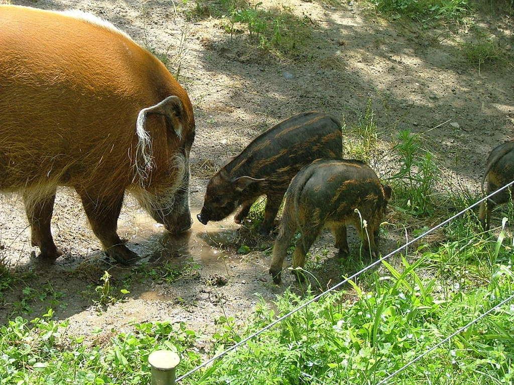 Кистеухая порода свиней или речные свиньи