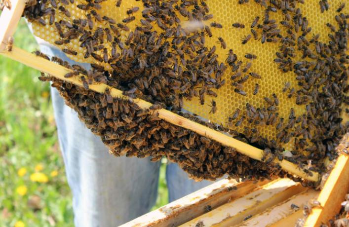 Среднерусские пчелы