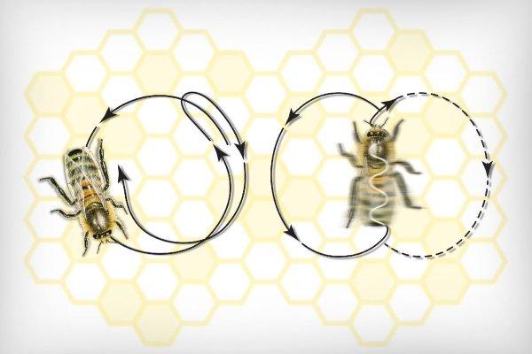 Что такое танец пчел и для чего он проводится?
