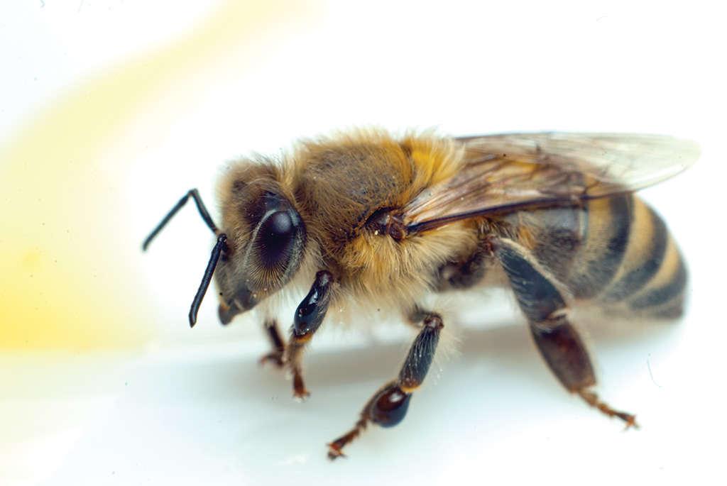 Карпатская порода пчелы