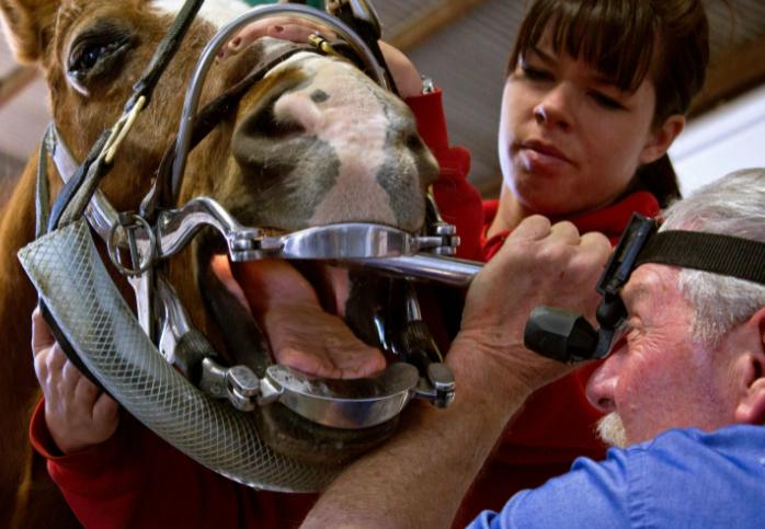 Чистка зубов у лошади
