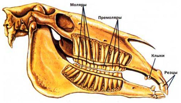 Строение зубов лошади