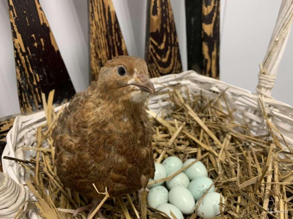 Селадон яйца